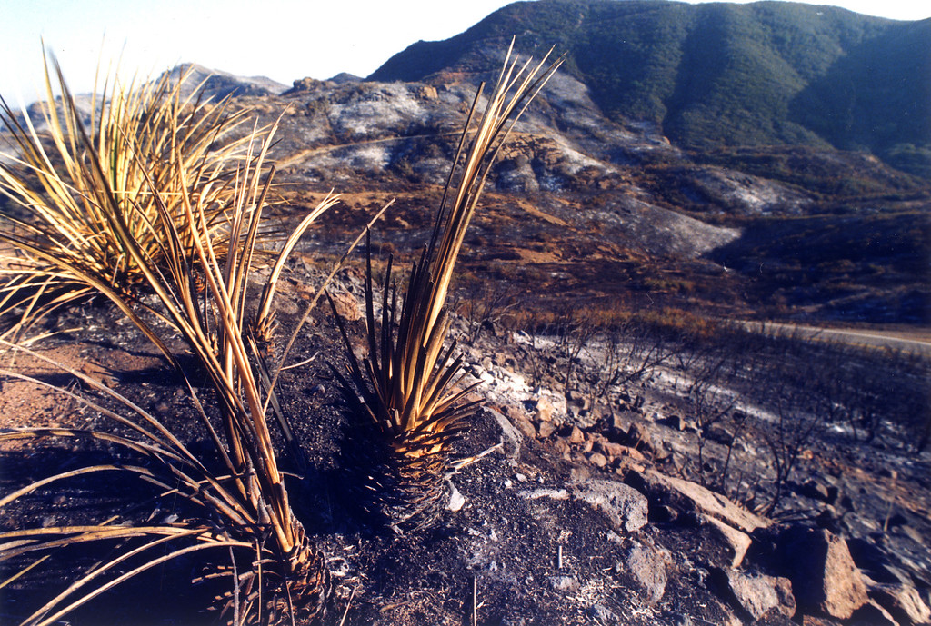 . Little remains of the burned out Mishe Mokwa Trail in Malibu. (11/2/93)   Los Angeles Daily News file photo