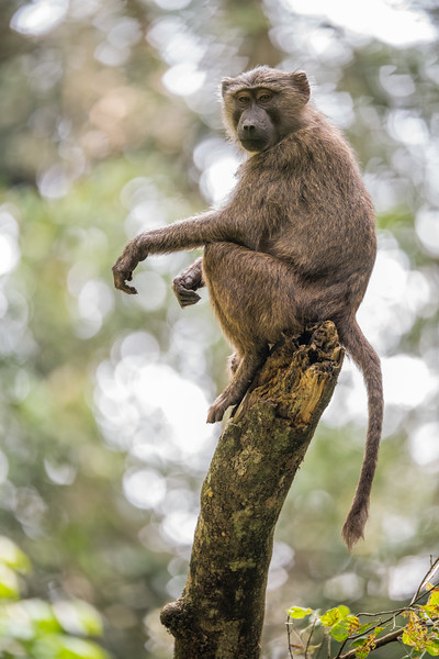 Uganda_T_Chimps-1473.jpg