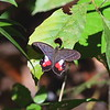 2017_ Eurybia butterfly_Gamboa Pipeline Rd_Panama_AQ3T4663