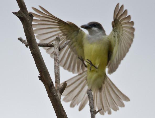 Thick-billed Kingbird Tyrannus crassirostris