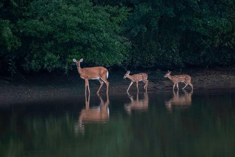 Wandering Deer