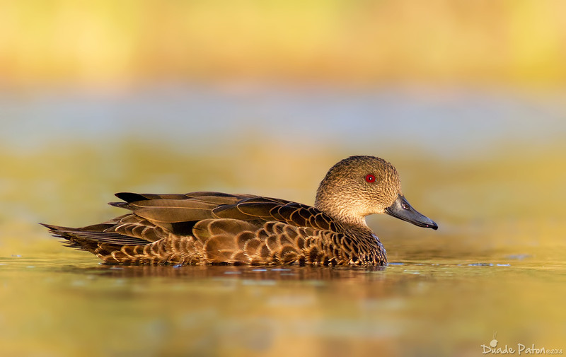 Chestnut Teal - Female