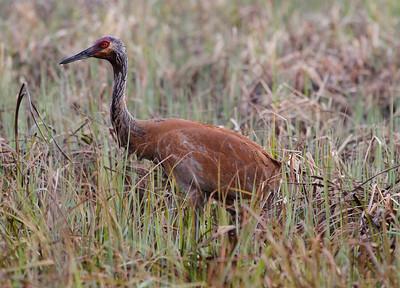 Crex Meadows cranes 4-25-2011