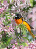 baltimore oriole male apple tree wejb _DSC6518