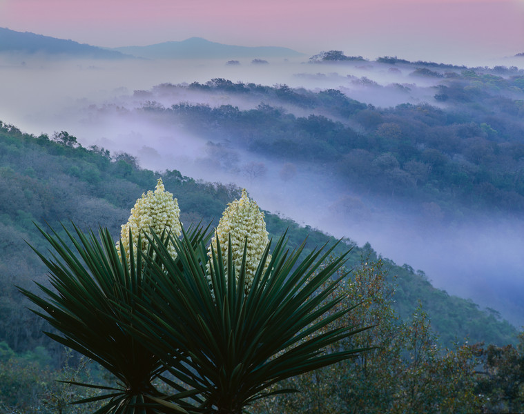 Tamaulipas, Sierra Tamaulipas, Mexico / Flowering Yucca, Yucca carnerosana, as fog pours through the thick forested mountain ridges at dawn. 204H3
