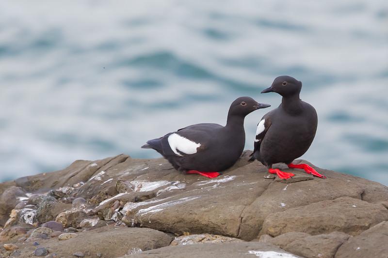 Pigeon Guillemot - Pigeon Point Lighthouse, CA, USA