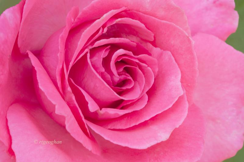 June 17_Brookdale Rose Pink_2261.jpg
