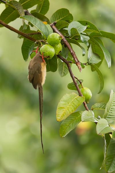 Speckled Mousebird - Moshi Tanzania