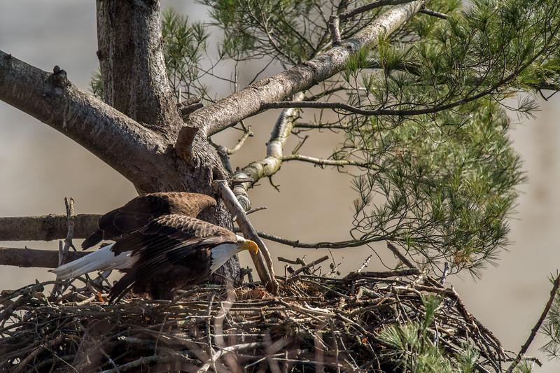 ulster-eagle-99.jpg