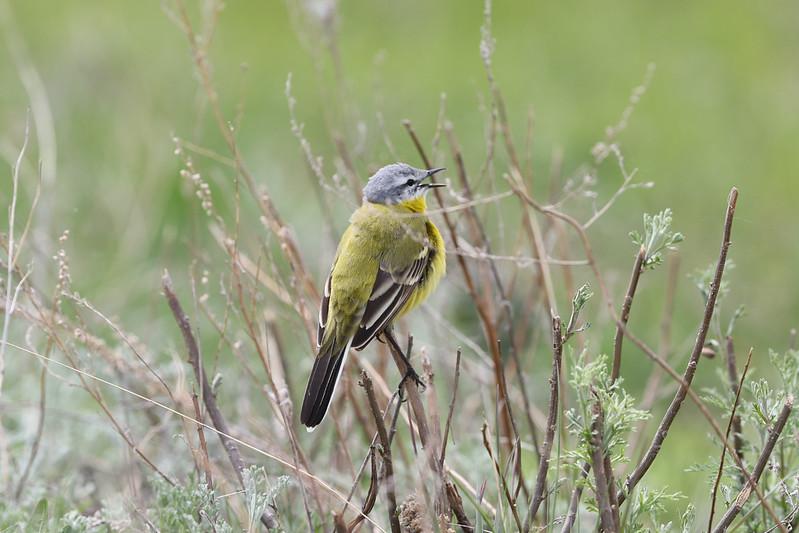 Yellow Wagtail (beema)