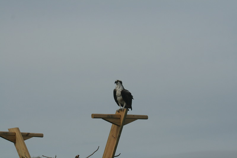 10 01 28 Osprey
