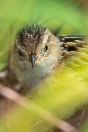 Sedge Wrens