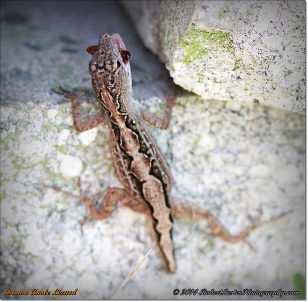 2014-06-09_IMG_1598_Brown Anole Lizard_.JPG