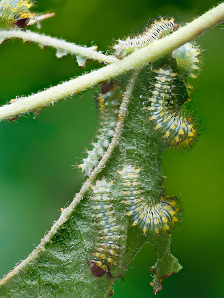 Antheraea polyphemus Moth Caterpillars