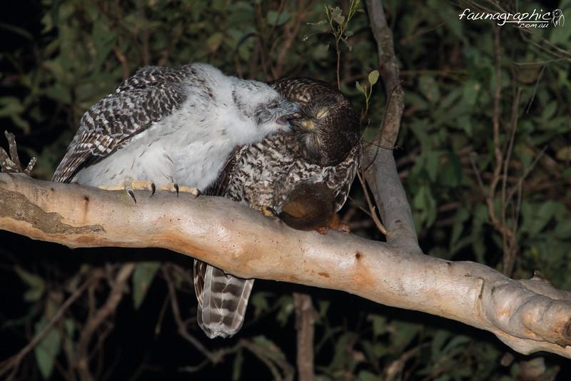 Powerful Owl feeding Fledgling