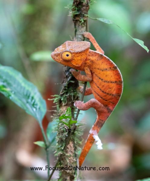 Juvenile Parson's Chameleon