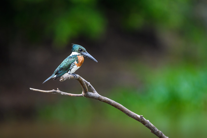 Green Kingfisher.jpg