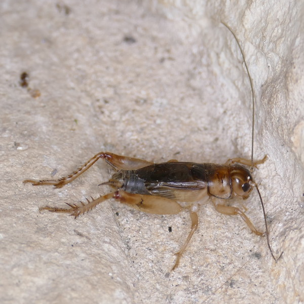 P156GryllodesSigillatus378 Apr. 28, 2016 8:18 a.m. P1560378 Here is a new species of cricket for me, the Tropical House Cricket, Gryllodes sigillatus,, in the breezeway at LBJ WC. Gryllid.