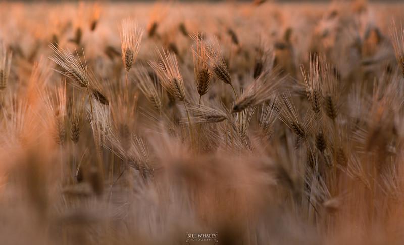 Wheatfield-3.jpg