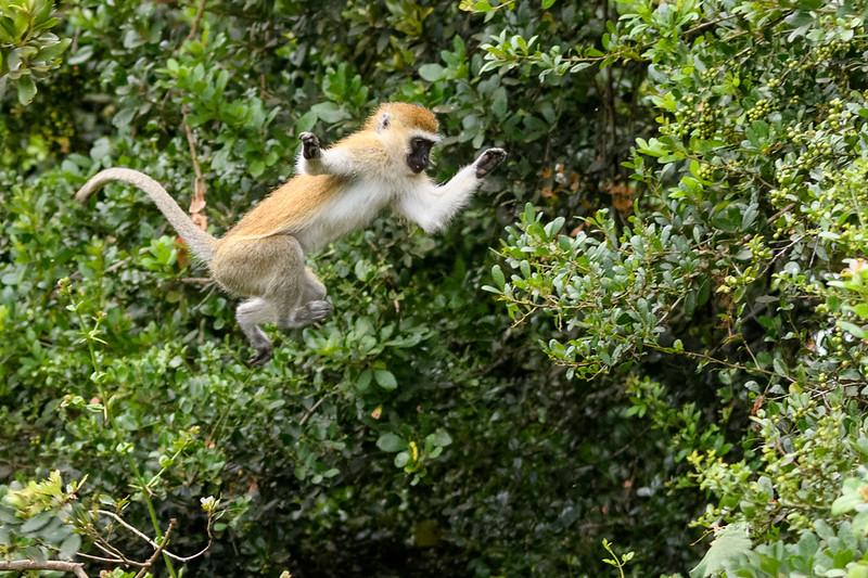 Leaping Vervet Monkey - Kenya