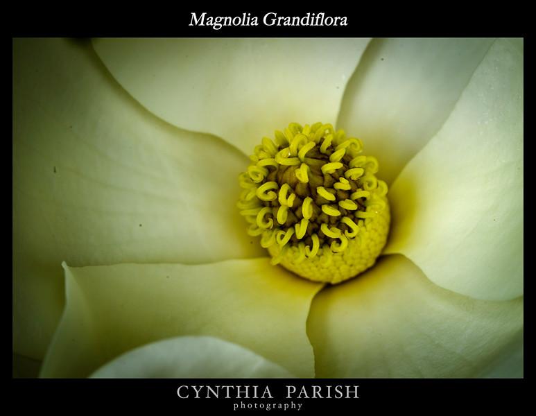 Magnolia_Closeup_BL8E2697.jpg