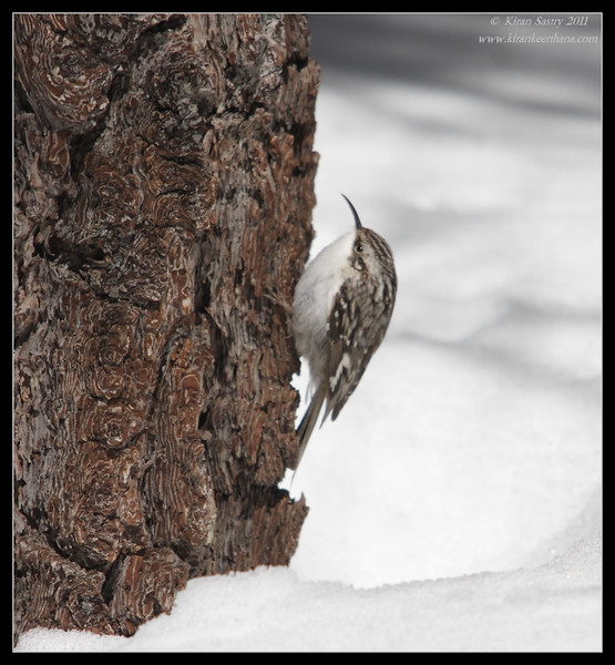 Brown Creeper, Mt. San Jacinto State Park, Palm Springs, California, March 2011
