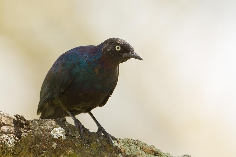 Rueppel's Glossy Starling - Lake Nakuru National Park, Kenya
