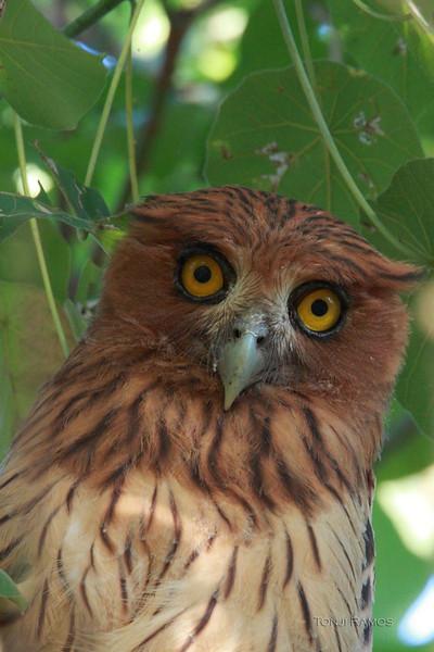 Philippine Eagle Owl