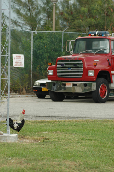 In the US, we like to think we have Dalmations at the fire house.  In Grand Cayman, they had wild chickens all over the property.
