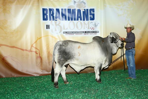 Owned Grey Bulls