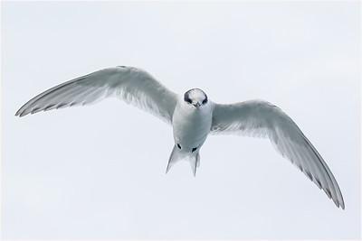 Terns, Noddies and Skimmers