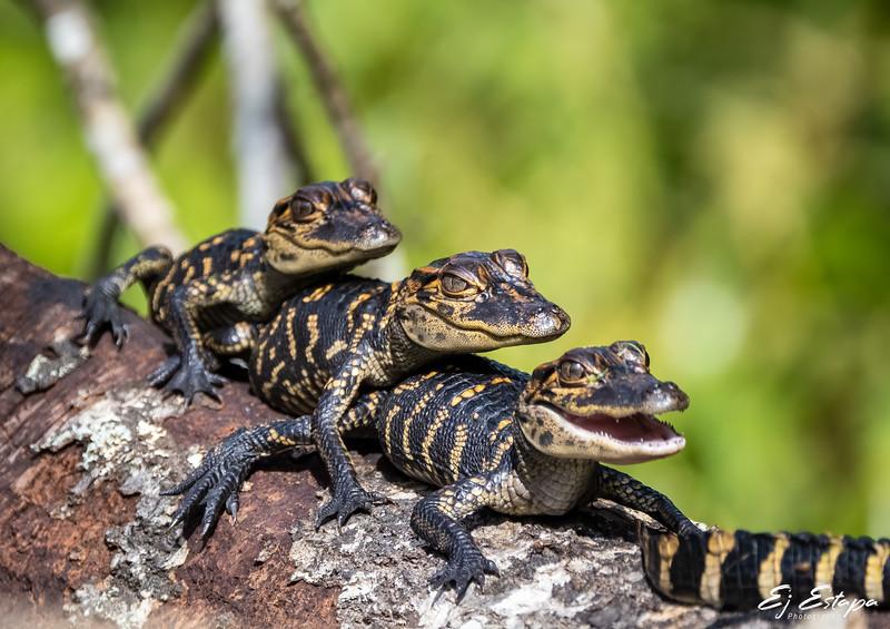 tres_gators.jpg