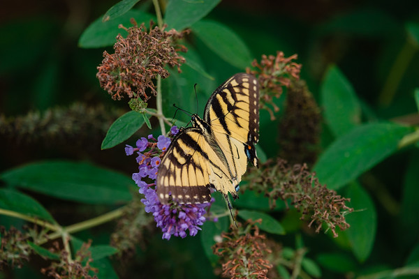 September 2nd Eastern Tiger Swallowtail