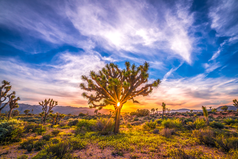 Joshua Tree Spring Symphony #25: Joshua Tree National Park Wildflowers Superbloom Sunset Fine Art Landscape Nature Photography  Dr. Elliot McGucken Prints & Luxury Wall Art!