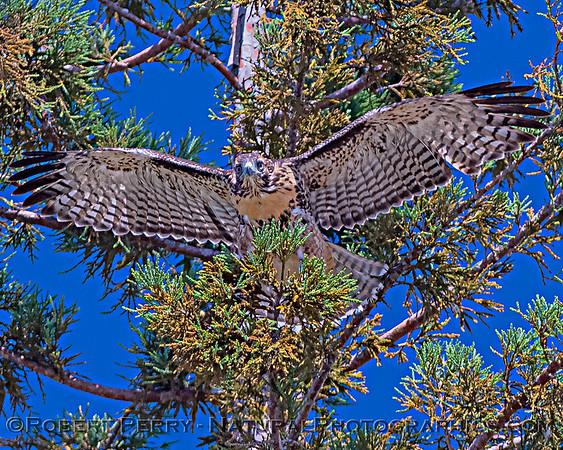 2020 05-29 through 2020 07-08  El Dorado Hills hawk nest