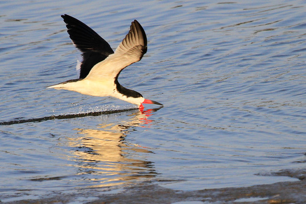 Upper Newport Bay April 2014 - Black Skimmer