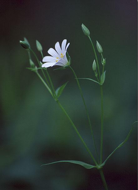 Mets-tähthein. Greater Stitchwort. Stellaria holostea