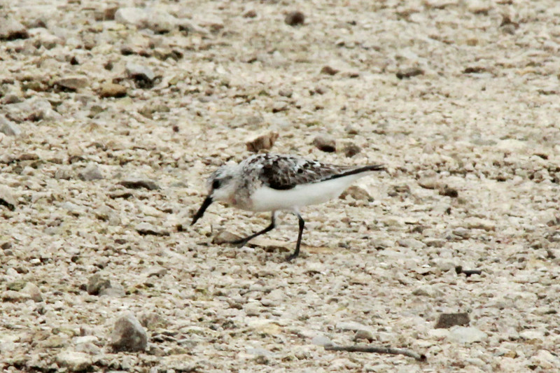 Sandreling @ Clarence Cannon NWR