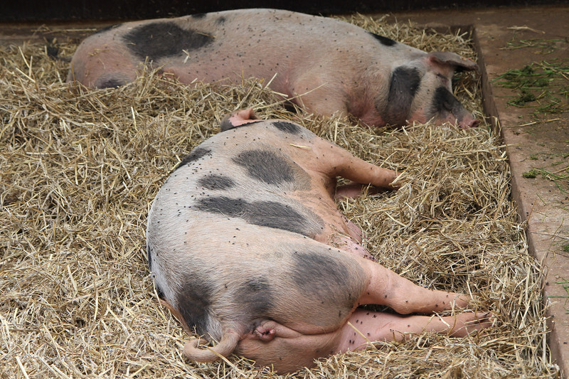 Matured pigs, with lots of flies