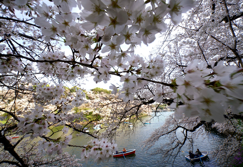 . Visitors on boats enjoy Someiyoshino cherry blossoms at Chitorigafuchi Imperial Palace moat in Tokyo, Monday, March 26, 2018.  Japan\'s famous cherry blossoms have reached full bloom in Tokyo as spring-like weather descends on the nation\'s capital. (AP Photo/Shizuo Kambayashi)