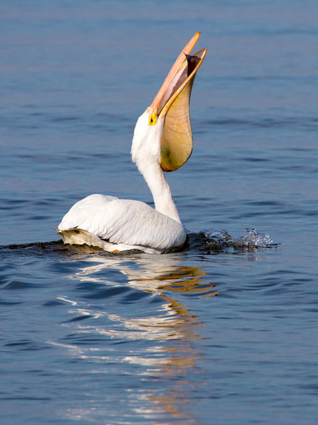 This White Pelican has caught a big fish.  See its tail hanging out its bill.
