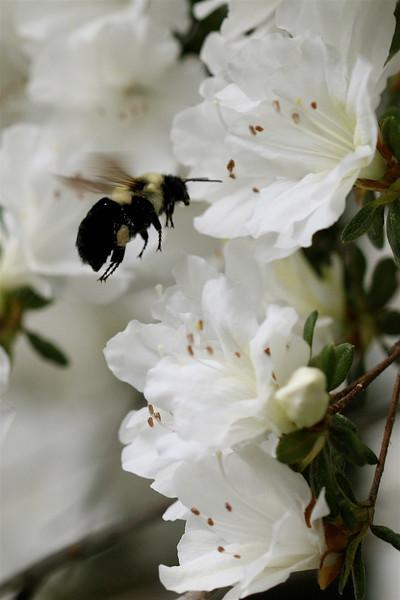 Bumblebee and Azaleas - 10