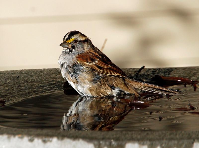 Sparrow at the fountain