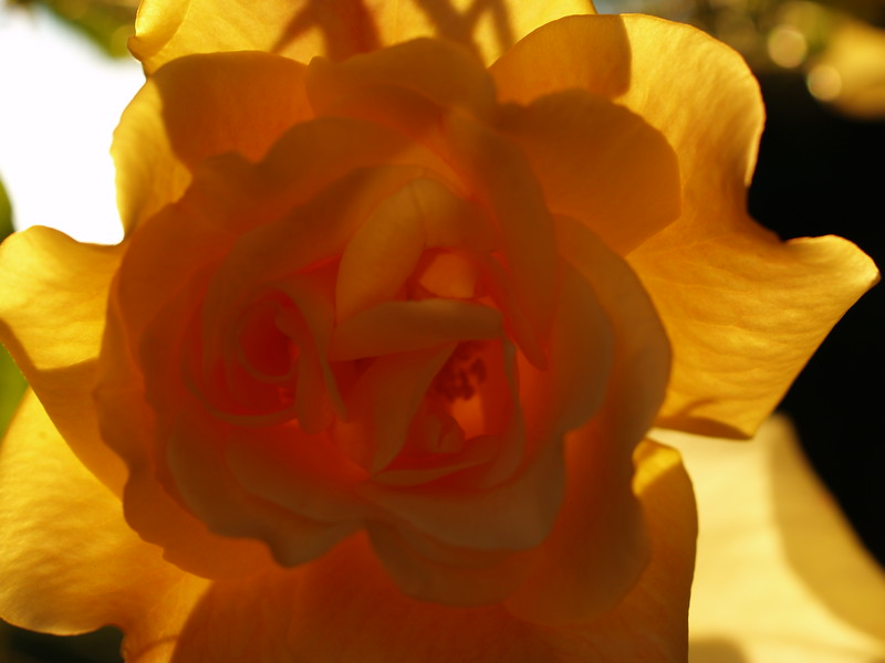 Backlight from the setting at the Rose Garden.