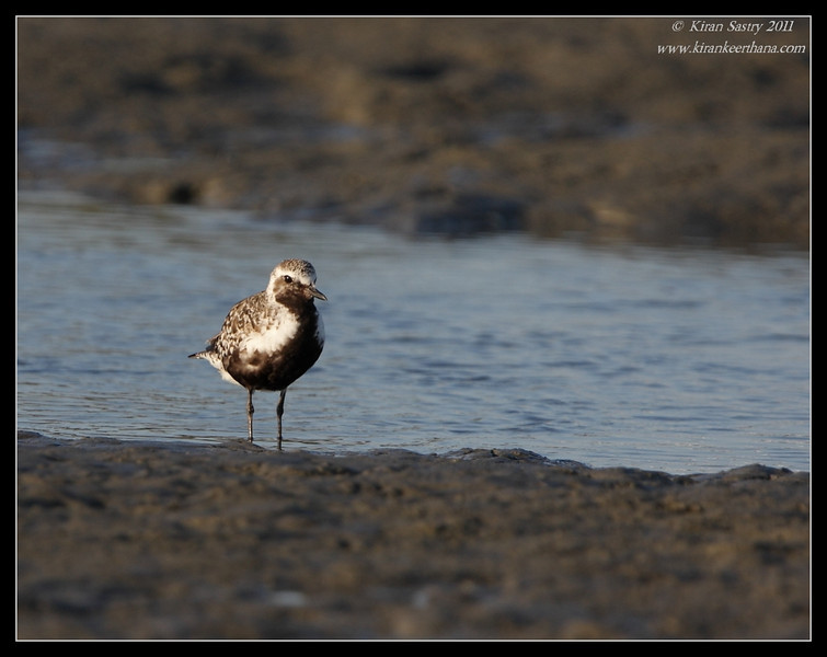 Black-bellied Plover in breeding plumage, Robb Field, San Diego River, San Diego County, California, August 2011