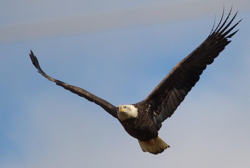 Bald Eagle flying at deer carcass along CR4 Carlton Co MN IMG_9545.jpg