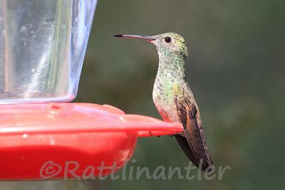 Berylline Hummingbird ♀