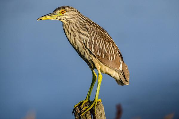 8-5-18 *^Black-Crowned Night-Heron - Juvenile