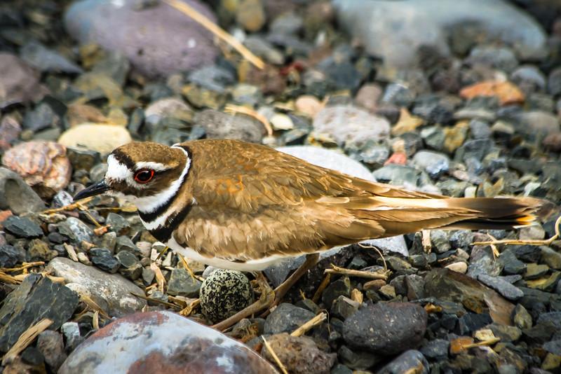 Killdeer Nest With Egg