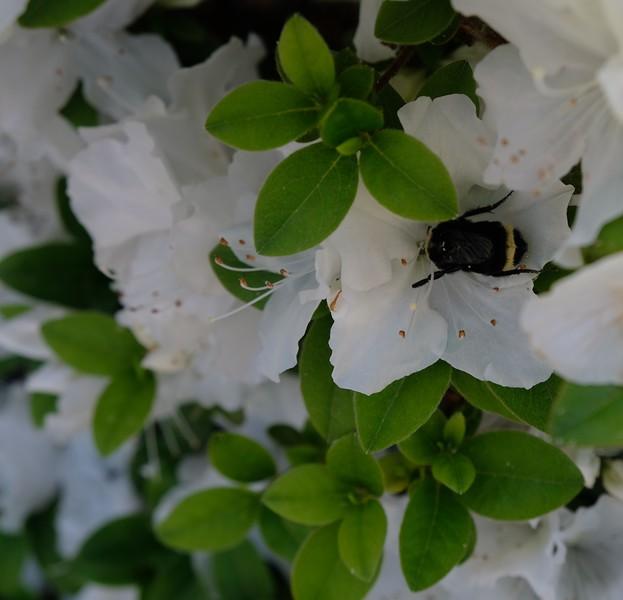 Best Garden Bee.JPG